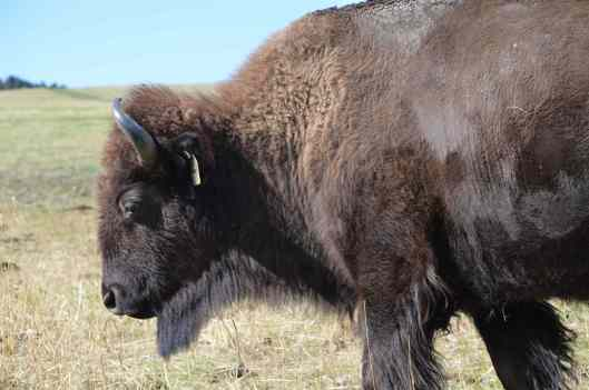 bison-spanish-creek-mt