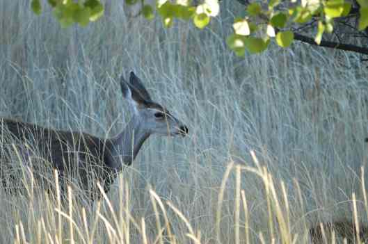 chewuch-inn-deer-01