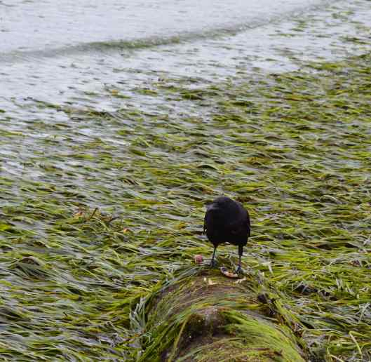 Crow at Beach - scaled