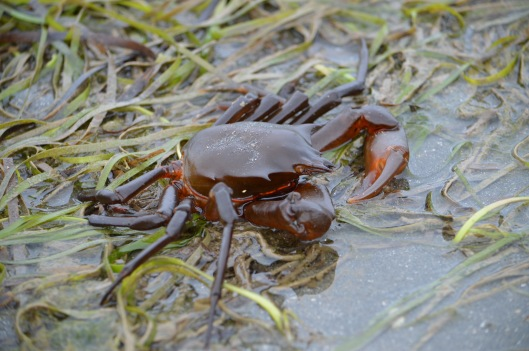 Kelp Crab at Beach